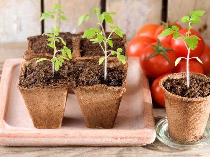 plantar tomate em casa