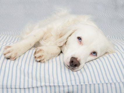 Cão com sintomas de esgana