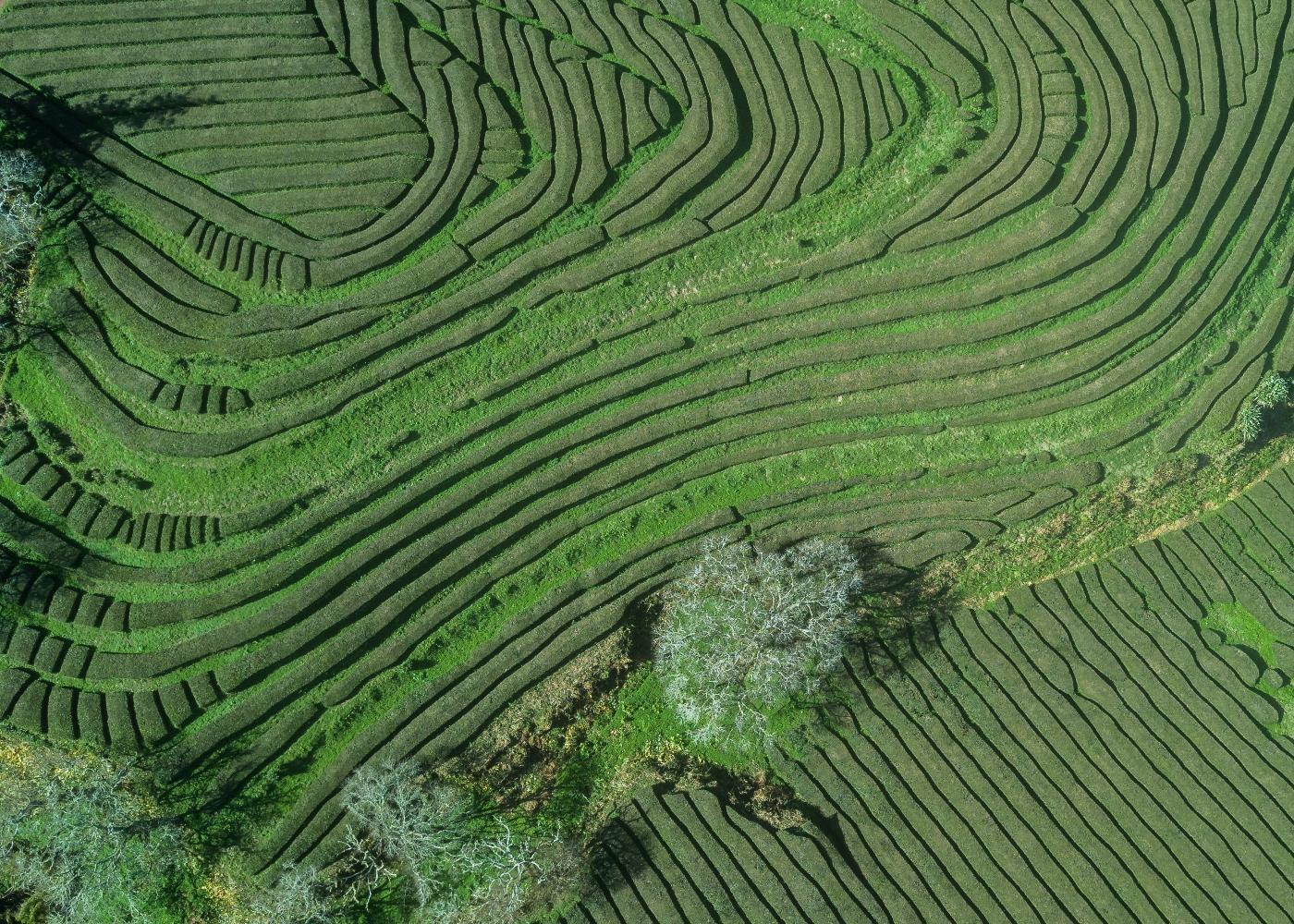 Imagem da Plantação da Chá Gorreana nos Açores
