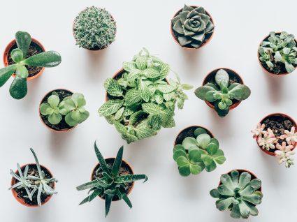 suculentas para jardins caseiros