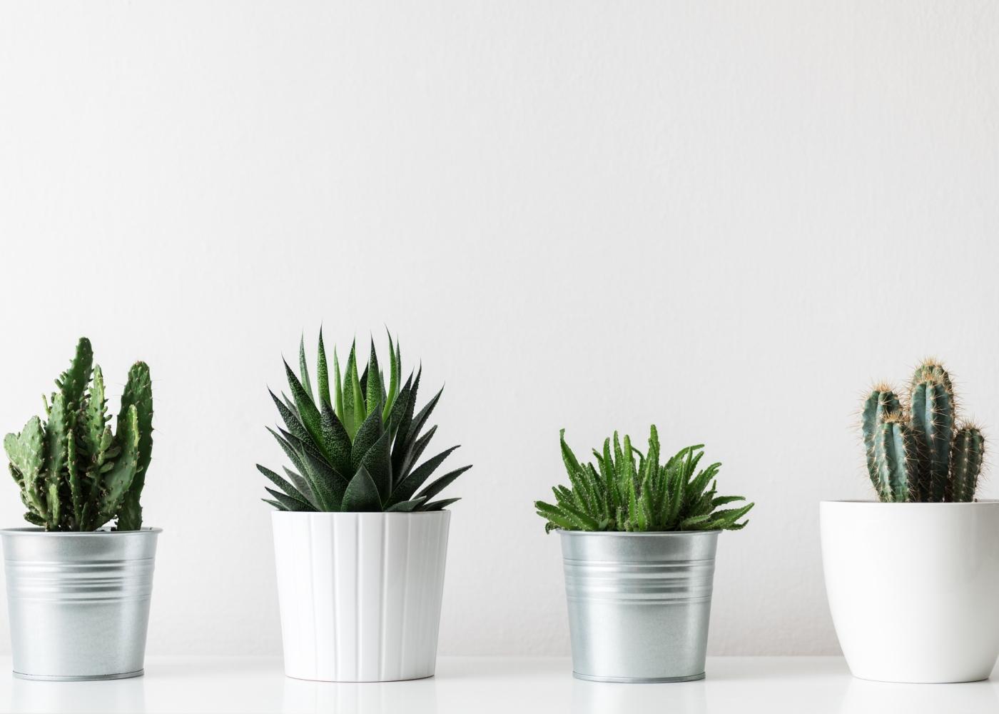 quatro vasos com catos diferentes