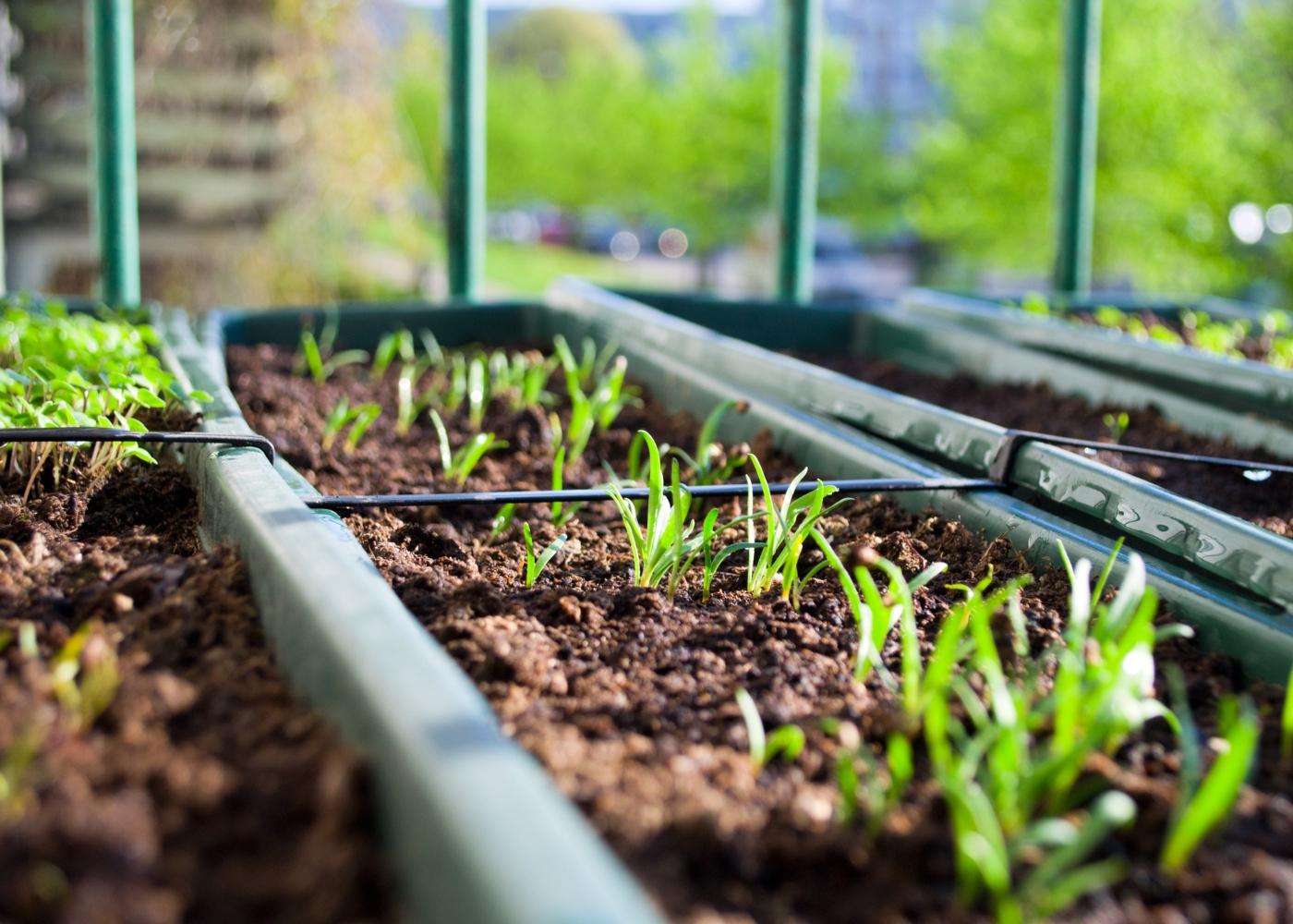 ervas aromáticas plantadas em apartamento