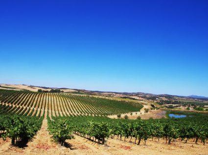 Vinhedo na rota dos vinhos do alentejo