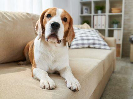 raças de cães para ter num apartamento