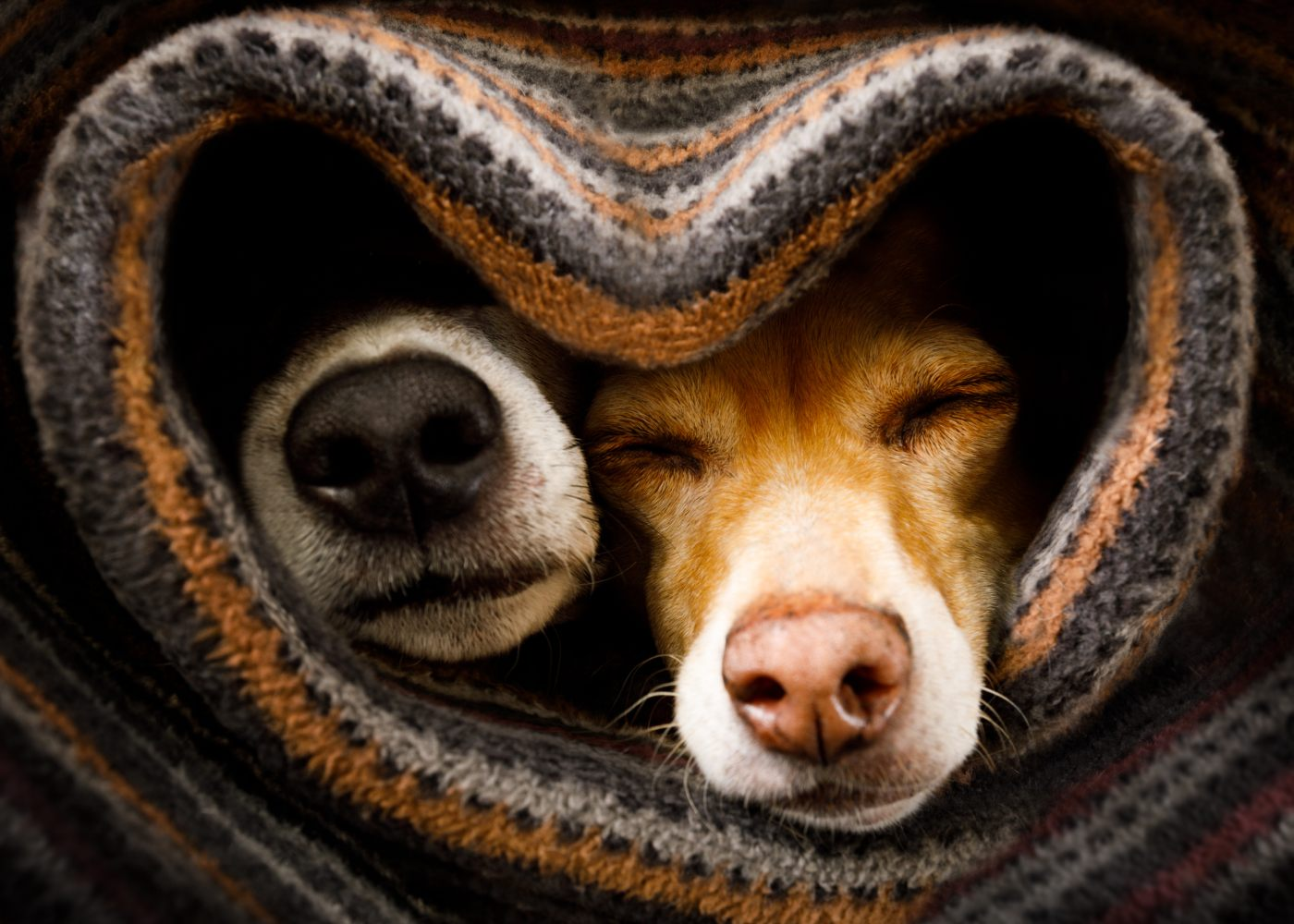 Cães com frio embrulhados em manta