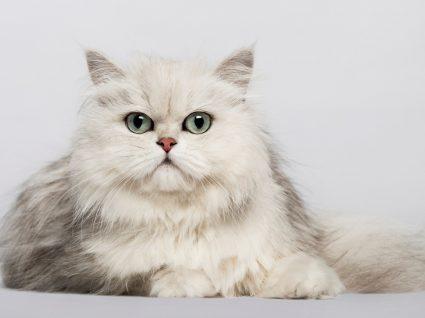 Gato persa em pose