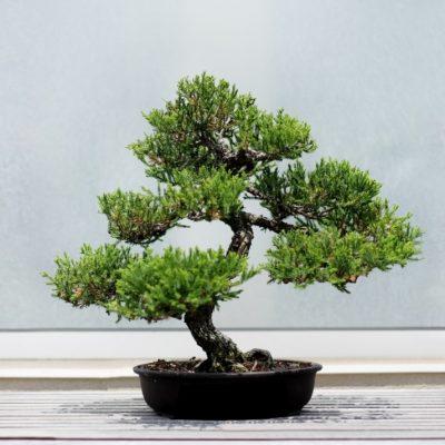 árvore bonsai