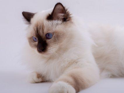 Raças de gatos famosas