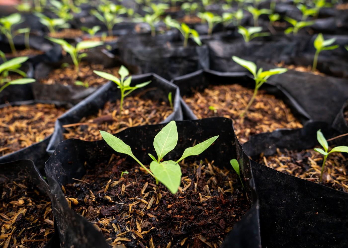 temperos plantados em terra