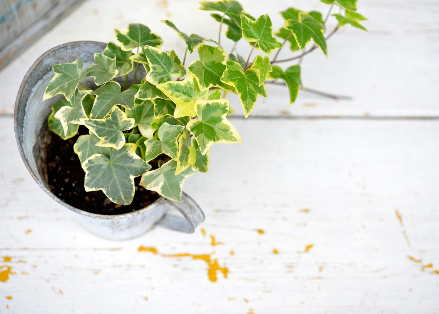 plantas para ter no quarto hera
