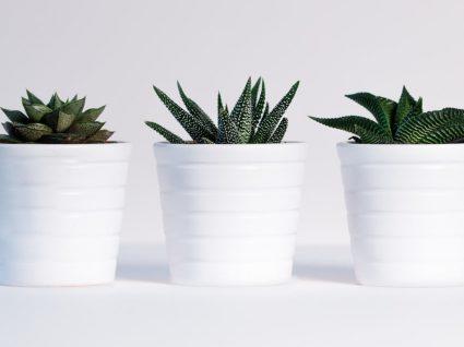 Plantas suculentas: guia essencial para cultivá-las em sua casa