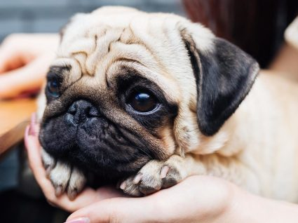 Quer ter um Pug? Saiba tudo sobre a raça