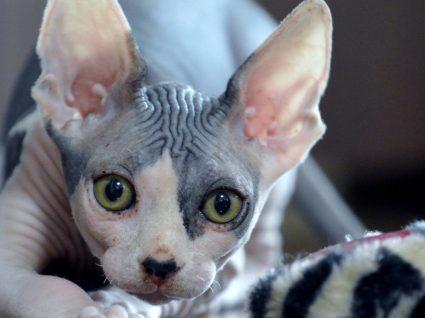Raça Sphynx: tudo o que deve saber acerca deste felinos
