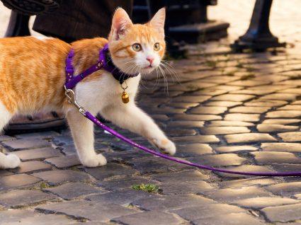 Coleiras e trelas para gatos: sim ou não? Saiba tudo sobre o assunto
