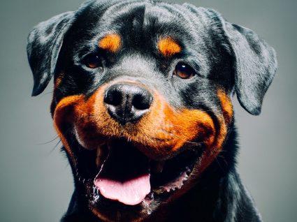 Rottweiler: uma raça potencialmente perigosa ou nem por isso?