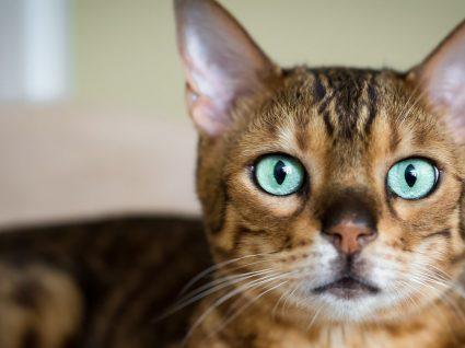 Raça Bengal: conheça estes felinos tão diferentes!