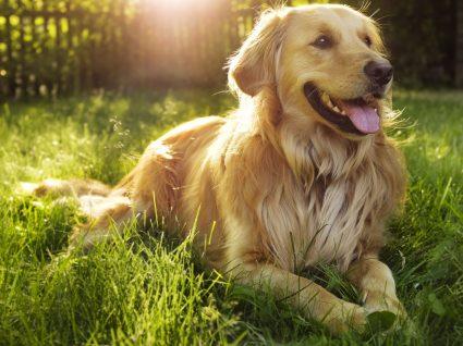 Golden Retriever: tudo sobre esta raça adorada