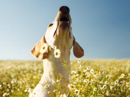 Conheça 7 razões que explicam porque os cães uivam