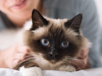 Porque os gatos ronronam? Descubra os motivos