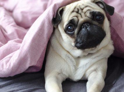 Cães braquicéfalos: conheça estas raças de cabeça curta