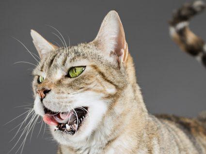 Mau hálito dos gatos: a halitose felina tem várias causas. Conheça-as!