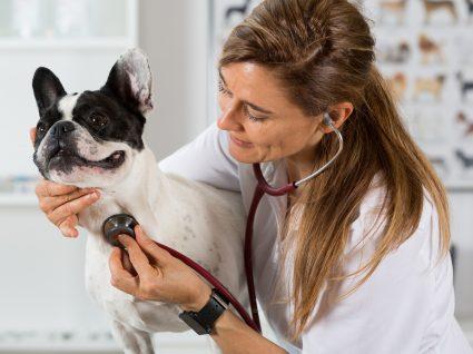 Bulldog: conheça as principais doenças desta raça
