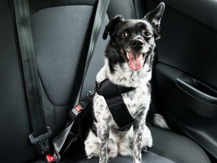 Transporte de cães em automóveis: o essencial de tudo o que deve saber