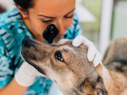 Cataratas nos cães: saiba identificar este problema ocular no seu amigo