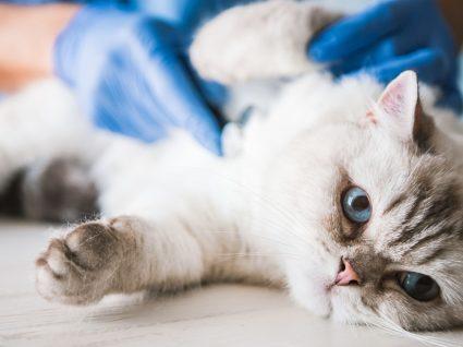 As 5 doenças de gatos mais comuns