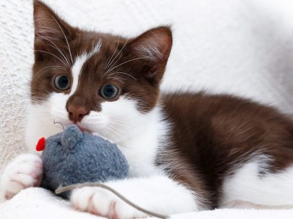 Descubra quais os melhores brinquedos para gatos