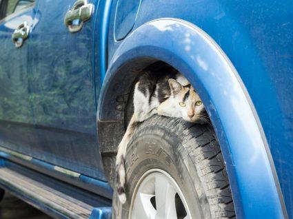 Animais no motor do carro: o que fazer e quais os perigos