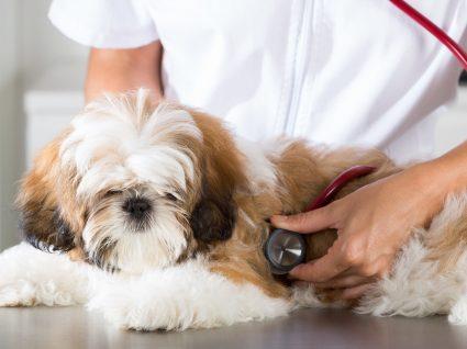 Gravidez psicológica na cadela: conheça o problema