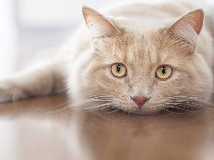 Bigode do gato ou vibrissas: qual a sua importância