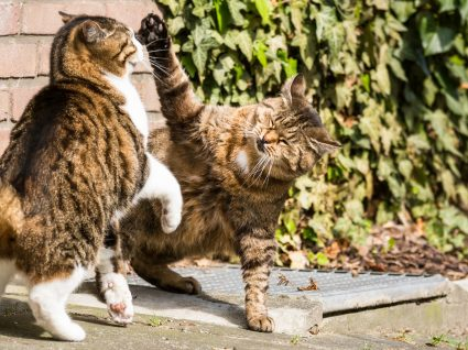 Lutas entre gatos: como evitar e resolver