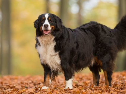Bouvier Bernois: a raça de cães gigante e muito dócil