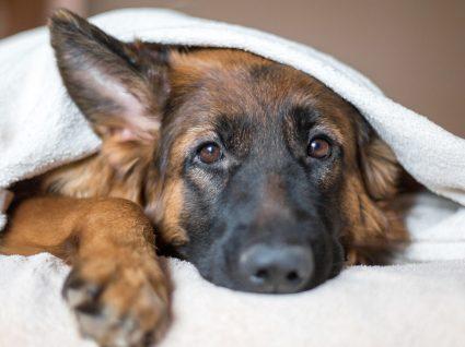 Otite canina: causas, sintomas e tratamento