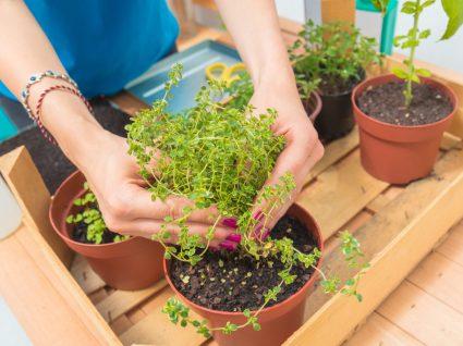 Plantar temperos: 8 tipos para cultivar em casa