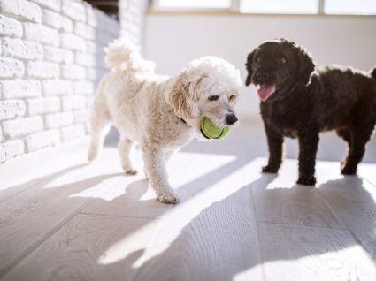 Cão ou cadela: qual a melhor escolha para si