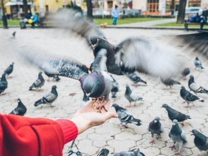 Alimenta pombos? 10 gestos comuns que lhe podem valer multas elevadas