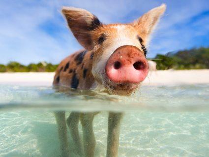 Conheça a insólita ilha dos porcos nadadores nas Bahamas