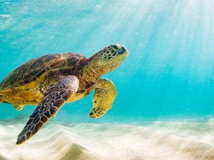 Hotel nas Maldivas oferece estágio com tudo pago para tratar de tartarugas