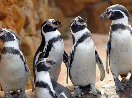 Pinguins chegam ao Sea Life Porto e as entradas são grátis