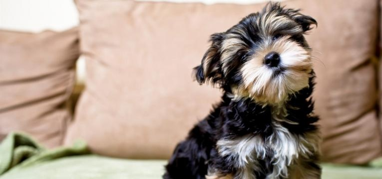 saiba tudo sobre o yorkshire terrier