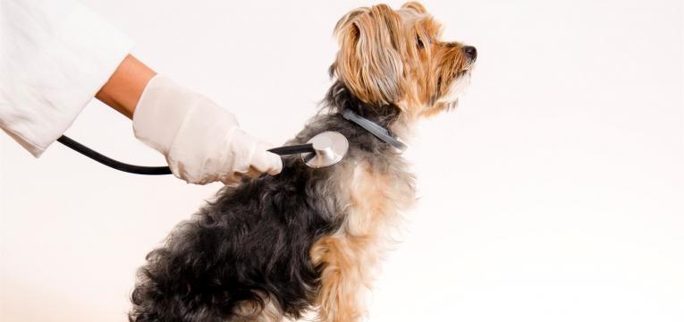 saiba tudo sobre a saúde do yorkshire terrier