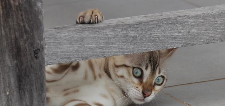 Os gatos da raça Bengal podem ter alguns comportamentos mais selvagens