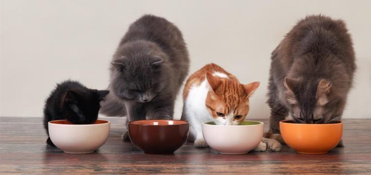 fome é um dos motivos por que os gatos ronronam