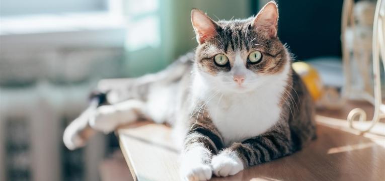 saiba tudo sobre a diabetes nos gatos