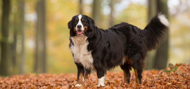cancro nos cães