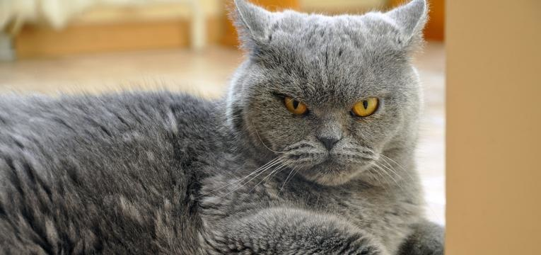 gato agressivo