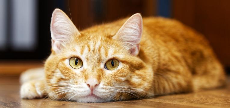 feromonas para gatos